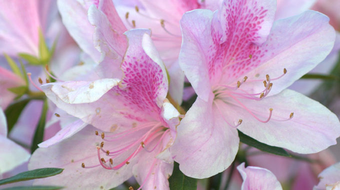 Azaleas: 'The Flaming Drama Of The South'