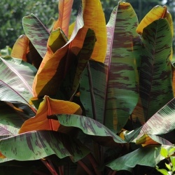 Red Banana Tree