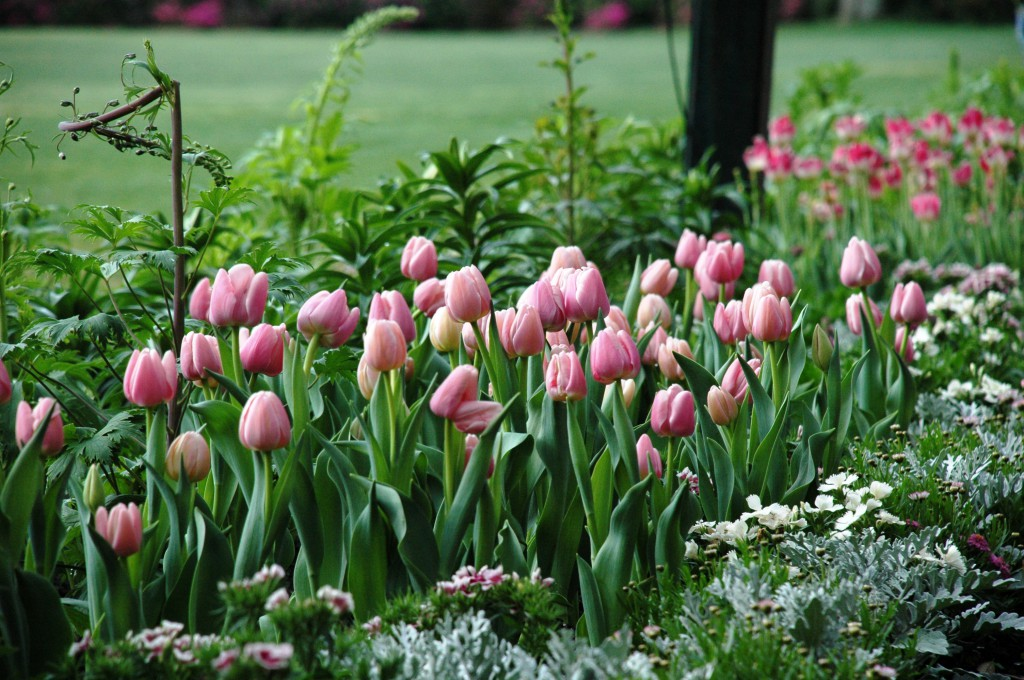 Tulips can be seen for up to two months in the Gardens because of the forcing process.
