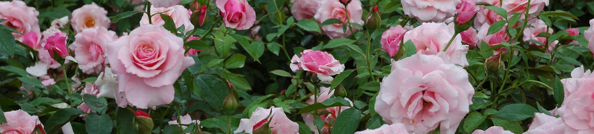 Roses_1920_435