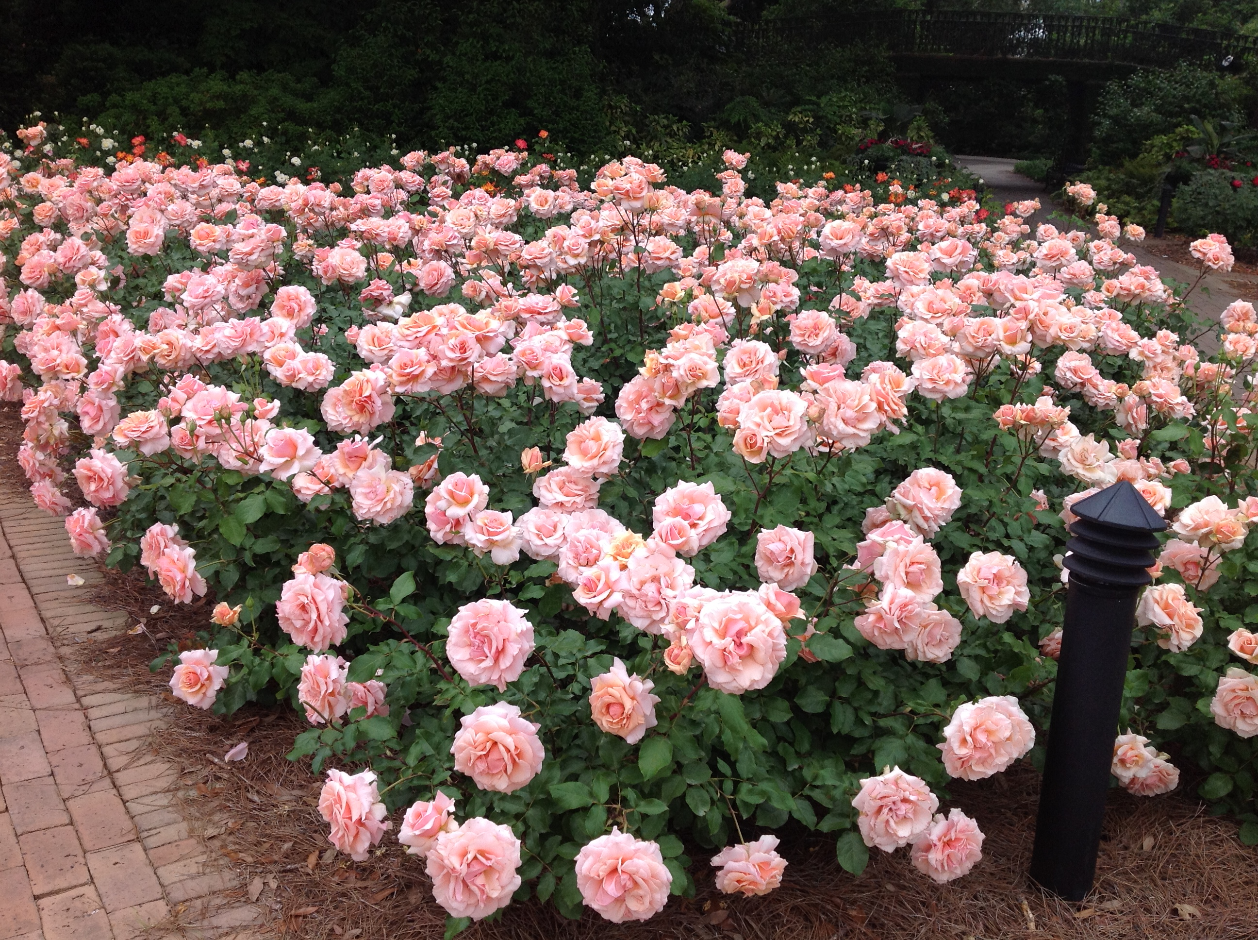 Delightful Planting A Rose Garden Tips For Planting A Disease Resistant Rose  Garden: