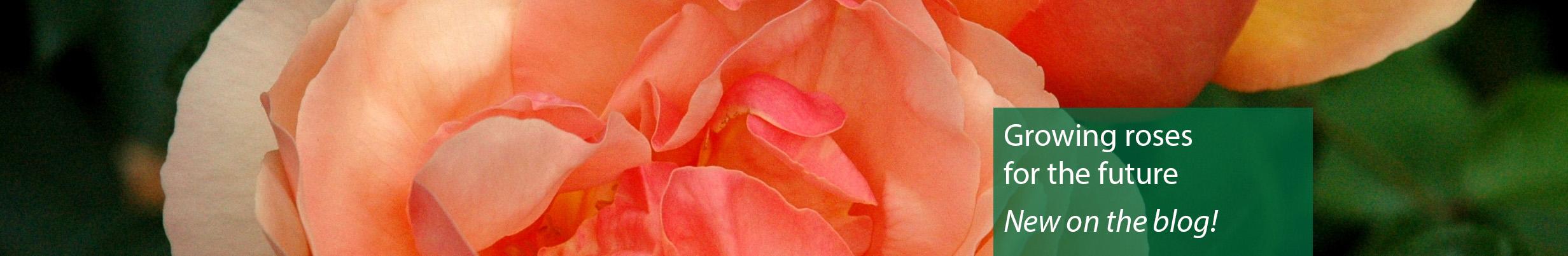 roses_blog_homepageheader