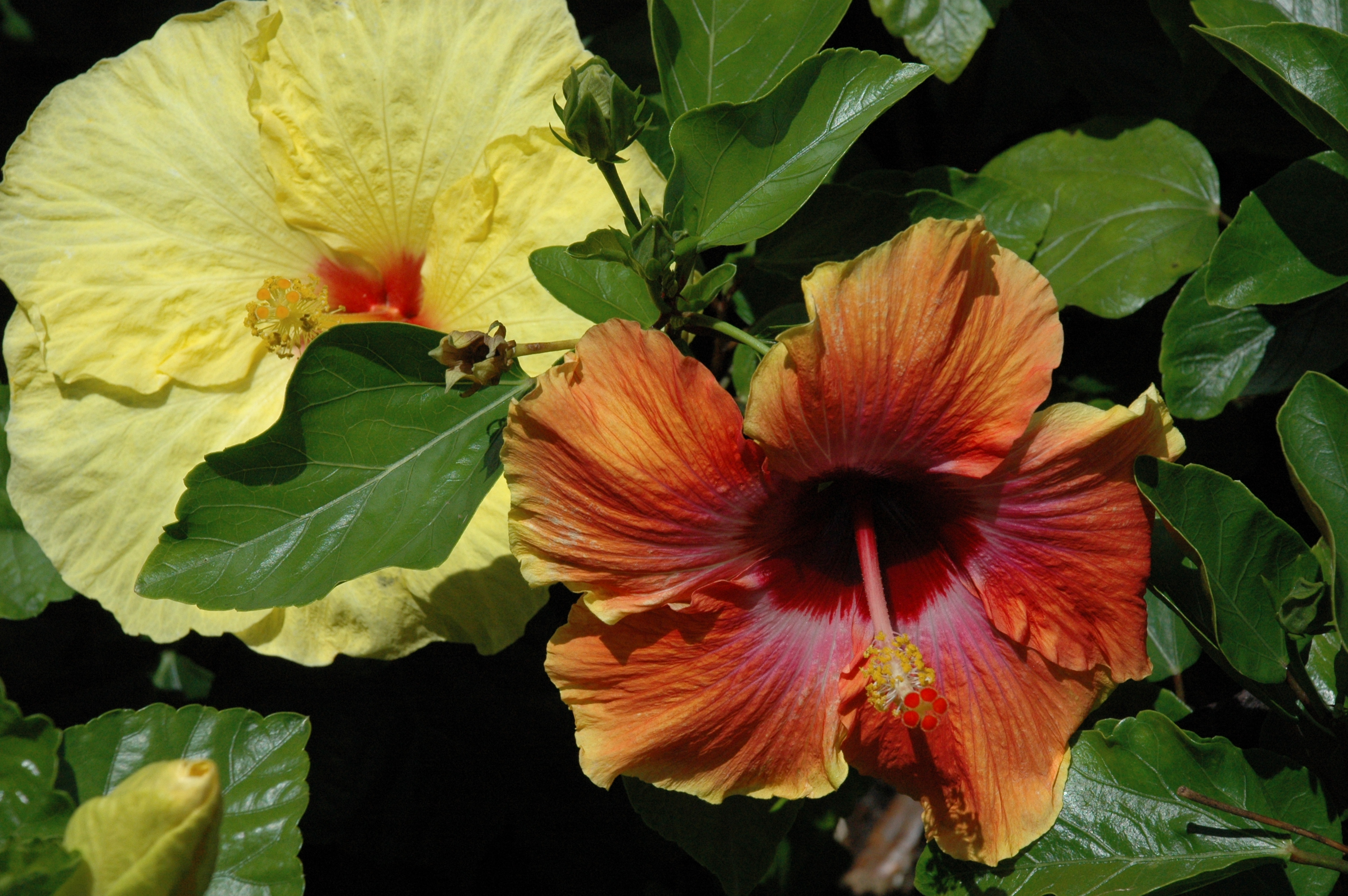 Hibiscus signs of summer at the gardens bellingrath gardens home hibiscus in your garden izmirmasajfo