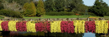 Fifty Years of Cascading Mums