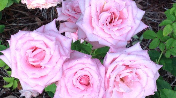 Raising Roses: Expert Advice From Rosarian Linda Guy