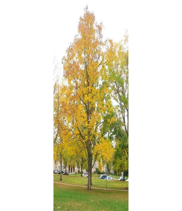 Coffee_Tree