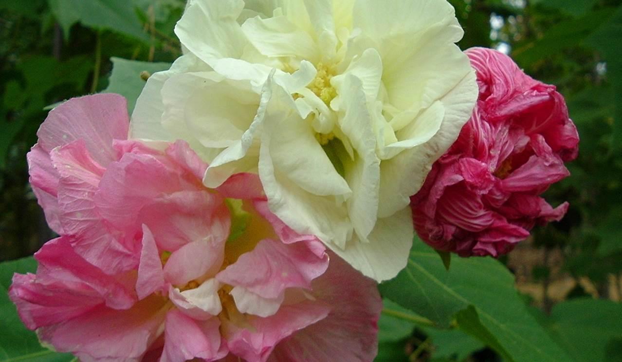 Confederate_Rose