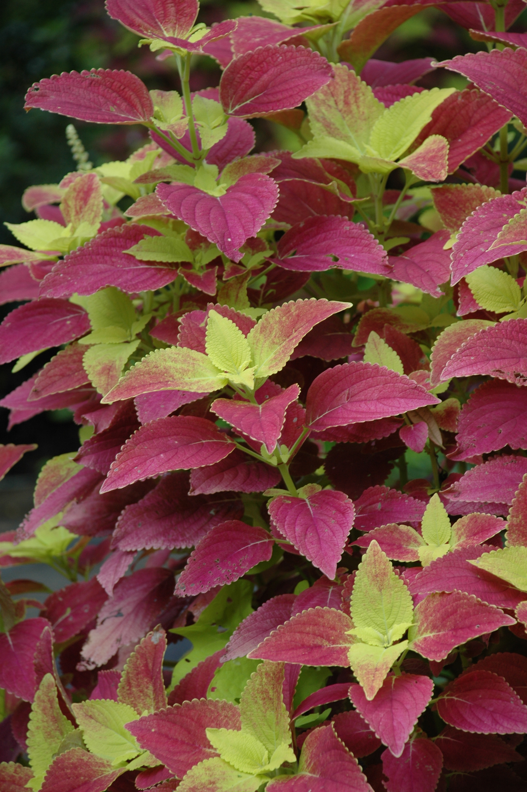 The Alabama Sunset Coleus is also known as 'Bellingrath Pink.'