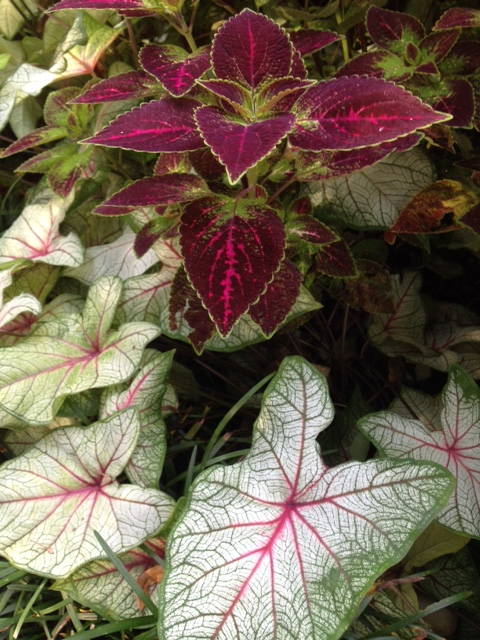 Coleus and Calladiums are always a pleasing combination in early fall.