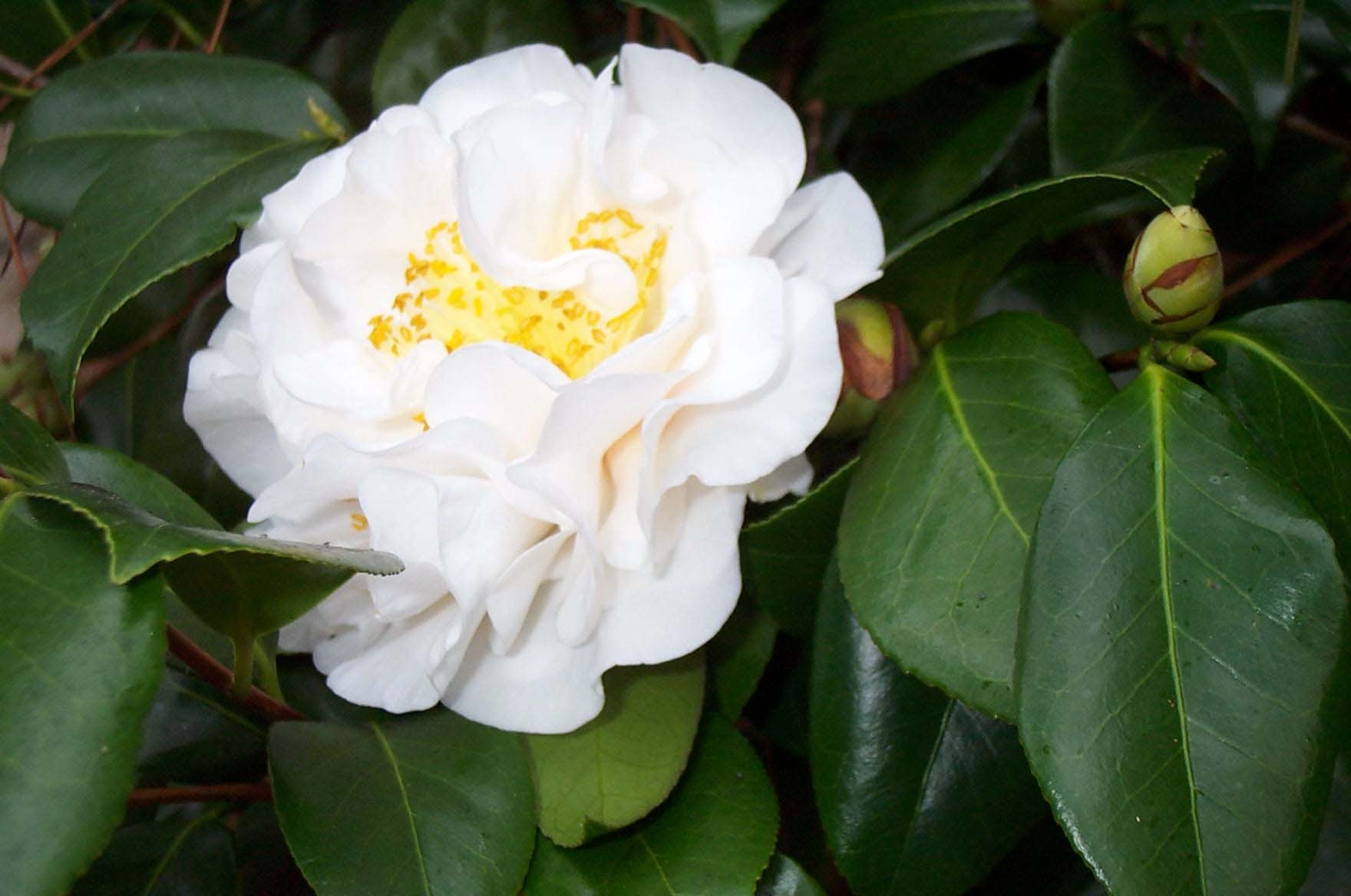 Camellias the aristocrat of bellingrath gardens - Camellia japonica cuidados ...