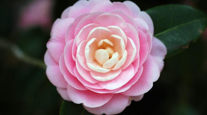 """Camellias, """"the Aristocrat Of Bellingrath Gardens"""""""