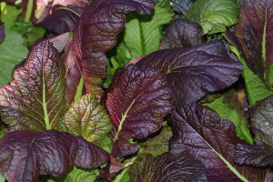 Ornamental mustard, 'Red Giant' variety