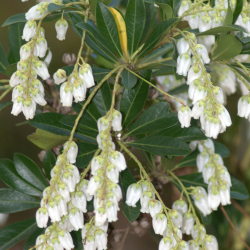 Lily Of The Valley Bush