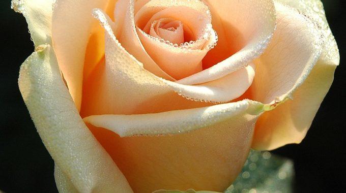 Roses At Bellingrath Gardens: Best Pruning Practices