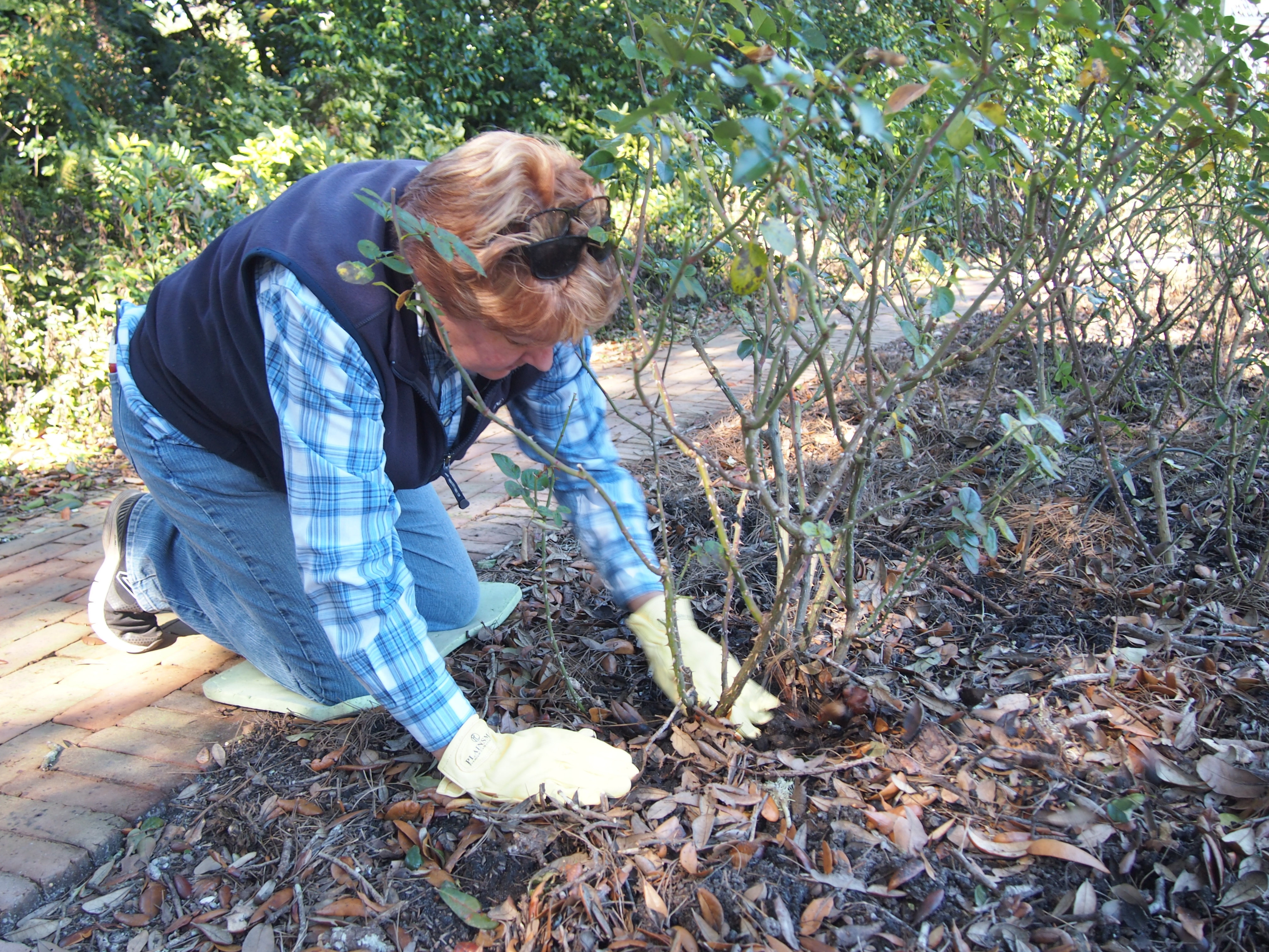 Linda Guy Clears Away Mulch To Get A Good Luck At The Base Of Bush