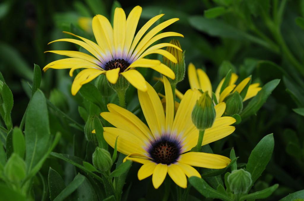 Osteospermum 'Lemon Symphony'