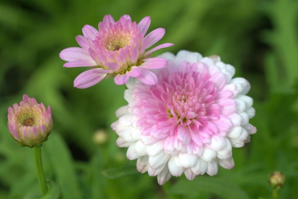 Argyranthemum 'Summer Melody'