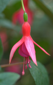 Fuchsia 'June Bride'