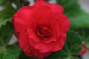 Begonia ' Non Stop Red'