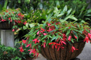 Begonia 'Bossa Nova'