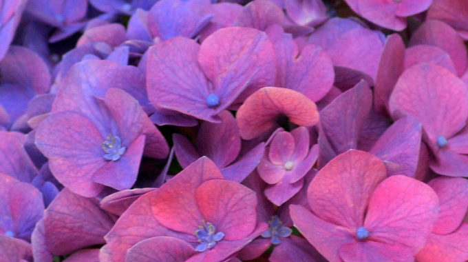 All About Hydrangeas (or, Don't It Make My Pink Blooms Blue?)
