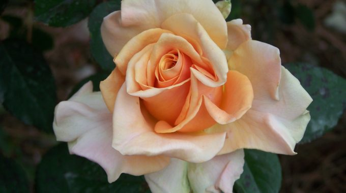 Roses At Bellingrath: Lots Of Tender, Loving Care