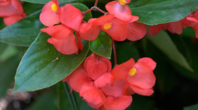 Begonias: Bountiful Beauties Of Summer