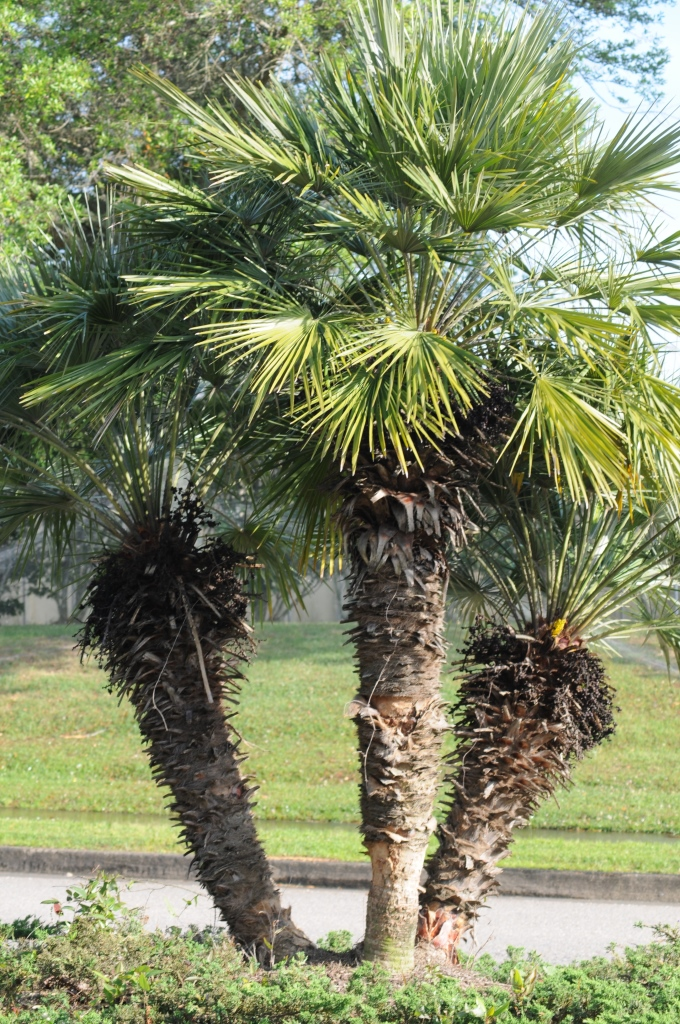 Should you cut down that palm tree? Advice for coping with cold ...