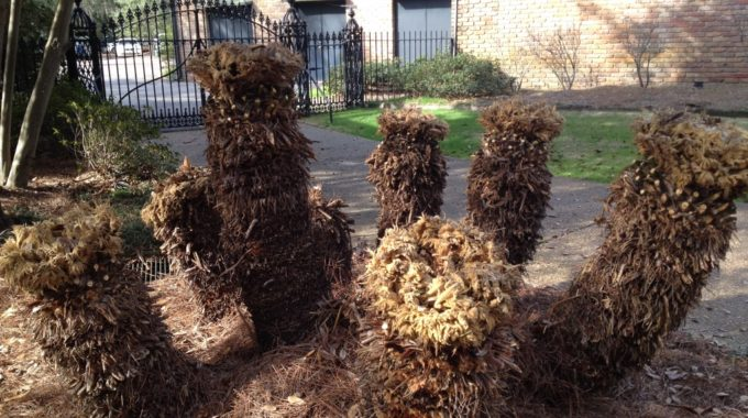 The Bellingrath Horticulture Staff Has Removed The Cold-damaged Fronds From These Sago Palms Near The Entrance.