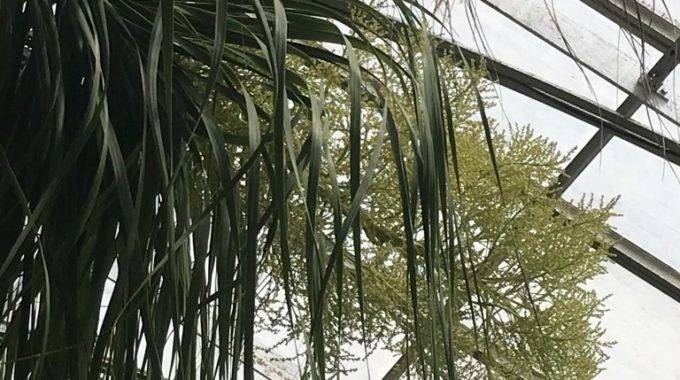 A Rare Sight: The Ponytail Palm In Bloom