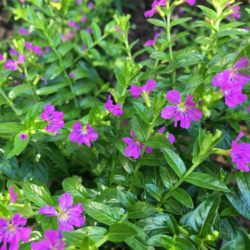 Mexican Heather